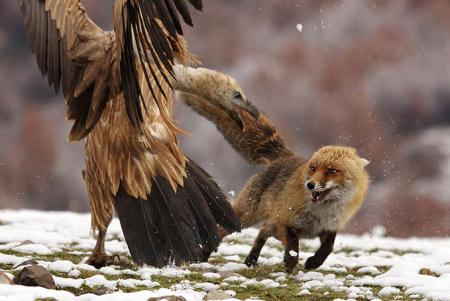 Griffon Vulture Attacking A Fox