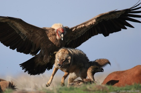 Griffon Vulture Attacking Wolf